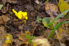 Yellow fungus breaking through the forest ground