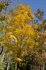 Colorful tree in Chequamegon-Nicolet National Forest, Wisconsin, USA