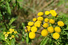 Yellow Pollinator