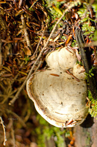 Tree fungus in Chequamegon-Nicolet National Forest, Wisconsin, USA