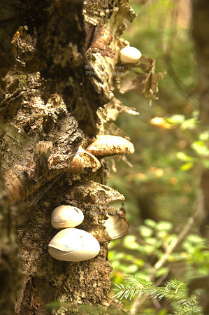 Cluster of White Tree Mushrooms; Jones Spring Area Trail, Chequamegon-Nicolet National Forest, Wisconsin, USA