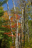 Group of birch trees with beautiful autumn colors in Chequamegon-Nicolet National Forest, Wisconsin, USA