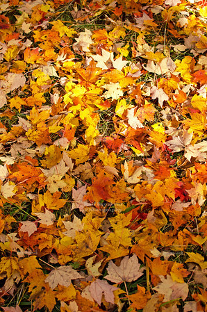 Colorful leaves cover the ground in Chequamegon-Nicolet National Forest, Wisconsin, USA