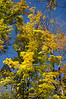 Multi-colored treetops in Chequamegon-Nicolet National Forest, Wisconsin, USA