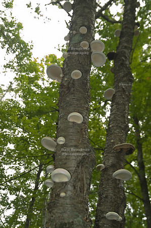 White Tree Mushrooms; Jones Spring Area Trail, Chequamegon-Nicolet National Forest, Wisconsin, USA