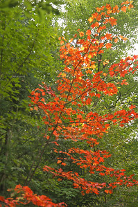 Red bush in the forest, Wisconsin, USA