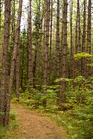 Spruce forest on Jones Spring Area Trail, Chequamegon-Nicolet National Forest, Wisconsin, USA