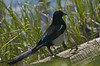 Black-billed Magpie - Oxbow Bend - Grand Teton National Park