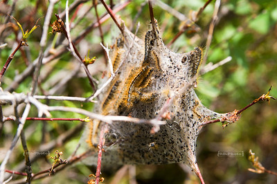 A nest full of Eastern Tent Caterpillars (Malacosoma americanum) found on Signal Hill, Grand Teton National Park, Wyoming, USA