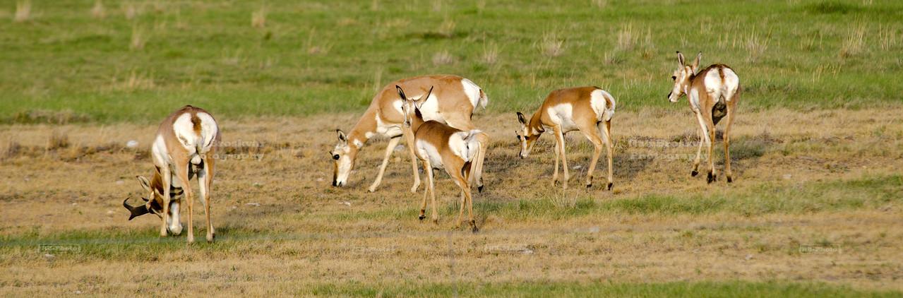 Pronghorns (Antilocapra americana)
