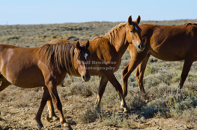 Wild Horses on the Wild Horse Loop Road in Sweetwater County, Wyoming