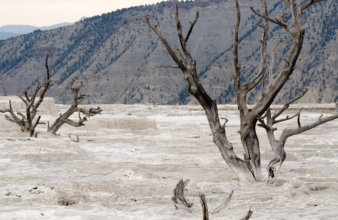 Dead Trees in Yellowstone