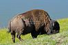 Buffalo at the shore of Lake Yellowstone. Yellowstone National Park, Wyoming, USA