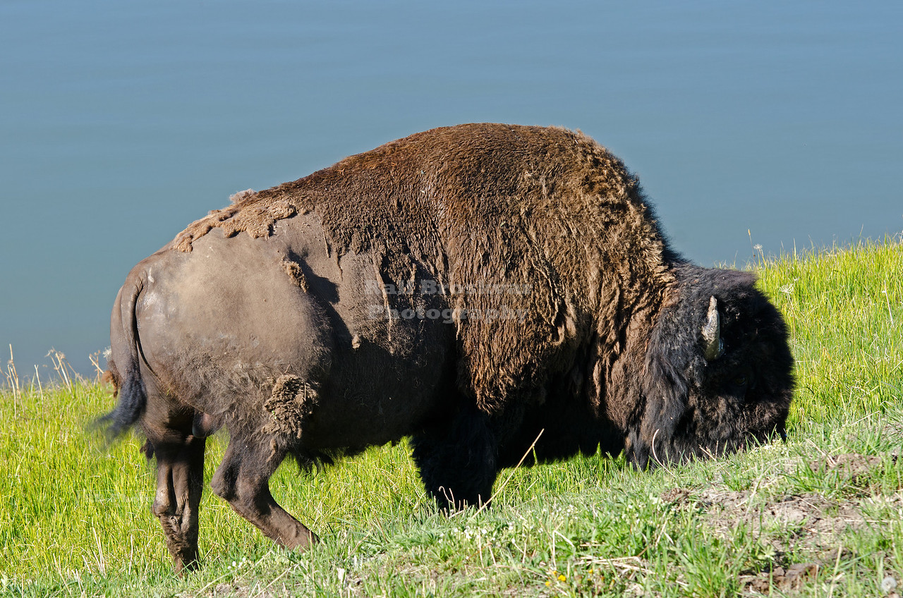 Buffalo at the shore of Lake Yellowstone. Yellowstone National Park, Wyoming, USA