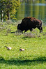 A Bison and 2 Canada Geese at the shore of the Yellowstone River in Yellowstone National Park, Wyoming, USA