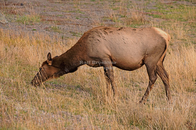 Elk at the Madison River in Yellowstone National Park
