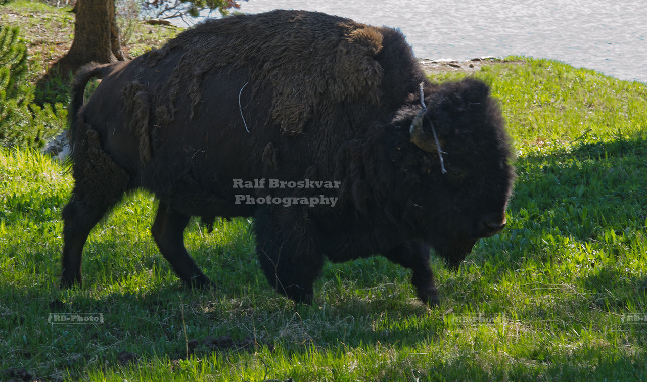 A massive bison bull with shaggy winter fur at the Yellowstone River. Yellowstone National Park, USA