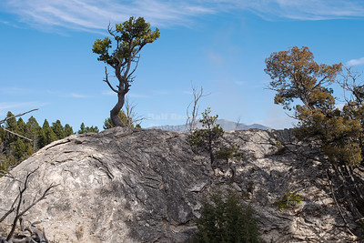 Pine Tree in Yellowstone