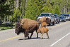 A herd of bison crossing the highway in Yellowstone National Park, Wyoming, USA