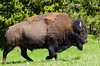 Buffalo galloping towards the road in Yellowstone National Park, Wyoming, USA