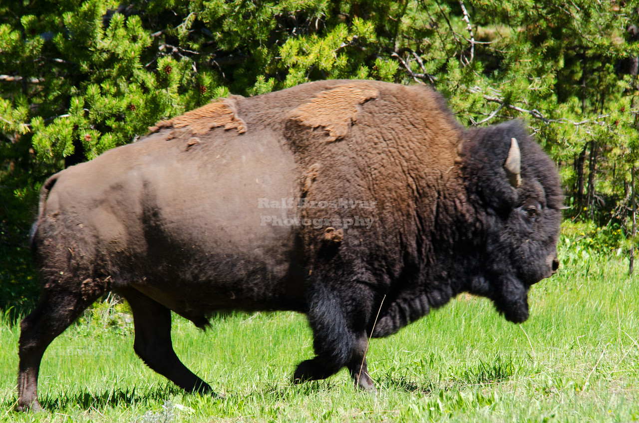 Buffalo galloping towards the road in Yellowstone National Park, Wyoming, USA