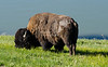 Grazing buffalo near the shore of Yellowstone Lake in Yellowstone National Park, USA