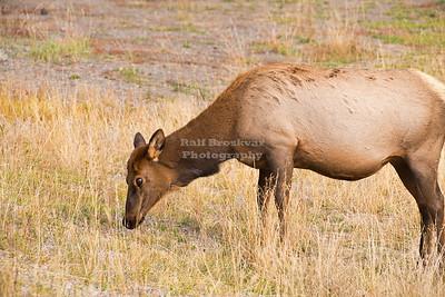Elk at Madison River