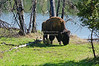 Bison grazing at the shore of the Yellowstone River in Yellowstone National Park, Wyoming, USA