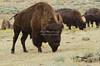 Buffalos in Lamar Valley