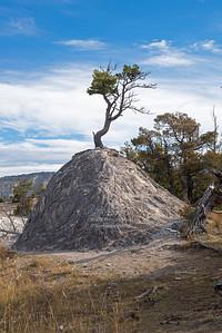 Pine Tree in Yellowstone