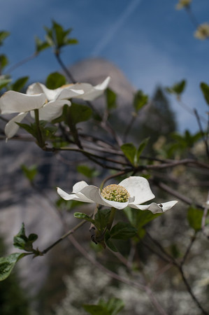 North Dome and dog wood flower