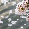 Cherry Blossom Petals