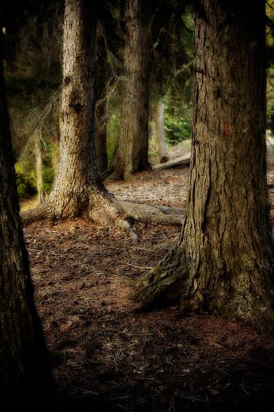 """Glacier Trees"" - Glacier National Park, Kalispell Montana"