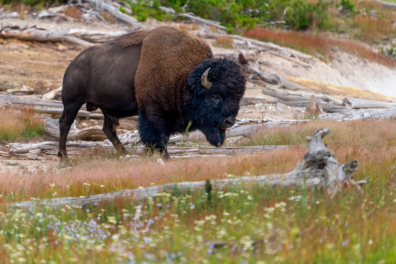 Bison near Mud Geyser