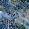 Colorado National Monument Goat (Ovis aries) 3