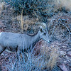 Colorado National Monument Goat (Ovis aries)