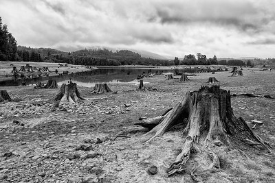 Cut down tree stumps at Alder Lake