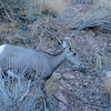 Colorado National Monument Goat (Ovis aries) 2