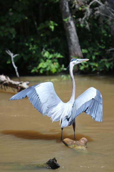 Great Blue Heron<br /> Honey Island Swamp<br /> Slidell, Louisiana