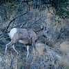Colorado National Monument Goat (Ovis aries) 4