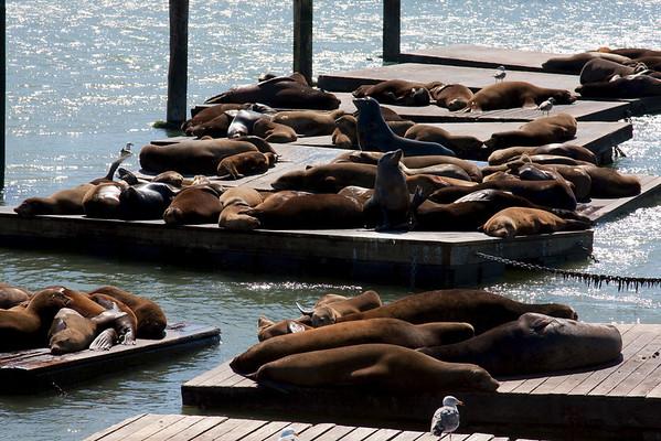 Søløverne ved Pier 39