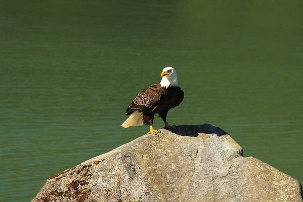 Male Bald Eagle