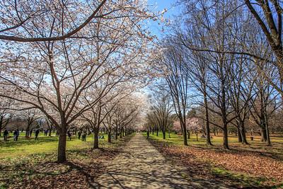 Cherry Blossoms, Fairmount Park