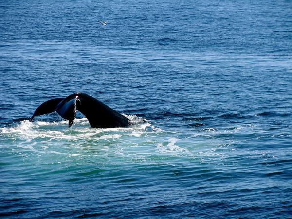 Whale-watching Boston, MA May 2008
