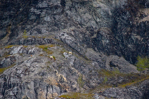 Mountain goats on Gloomy Knob