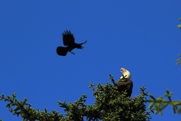 Eagle has nightmare of antagonistic crow, perhaps with many eyes.