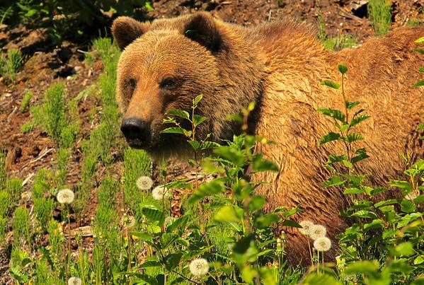 Brown bear, Haines
