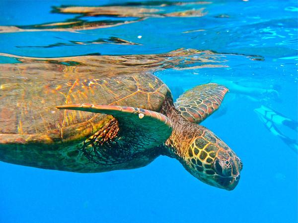 Green Sea Turtle Oahu, Hawaii, July 2012