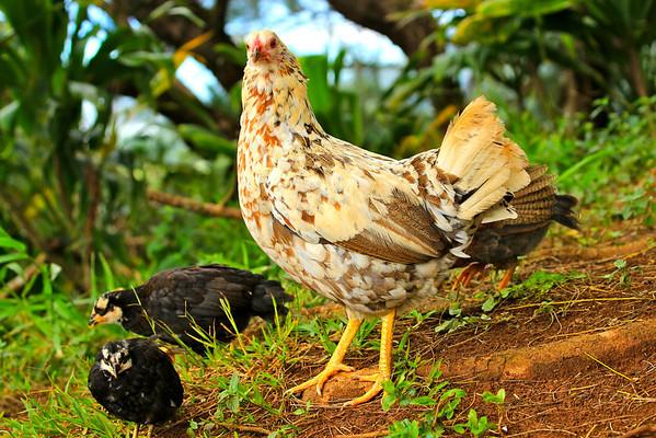 Wild chickens everywhere