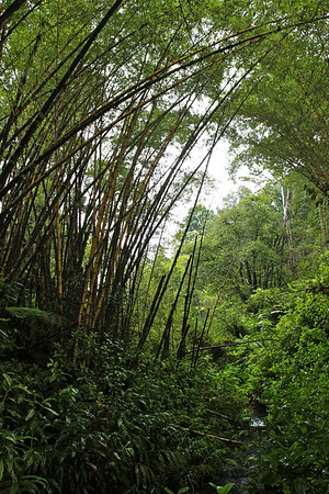 Rainforest near Akaka Falls, Big Island